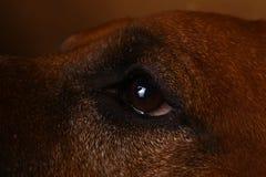 Studio shot of a Rhodesian Ridgeback Dog on brown Background royalty free stock photo