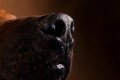 Studio shot of a Rhodesian Ridgeback Dog on brown Background stock photography