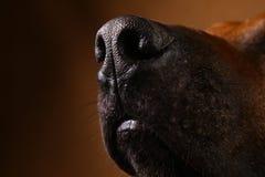 Studio shot of a Rhodesian Ridgeback Dog on brown Background stock photos