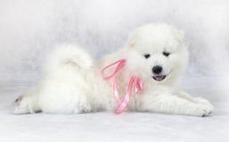 Studio shot of Samoyed puppy Stock Images