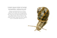 Studio shot of snail isolated on white. Royalty Free Stock Images