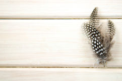 Studio shot of spread of three of black and white spotted patterned and textured guinea fowl feathers white Royalty Free Stock Photo