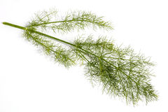 Studio Shot of Stem and Leaves of Fennel Plant Stock Images