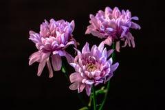 Studio shot of three pink flower,. Isolated on black royalty free stock image
