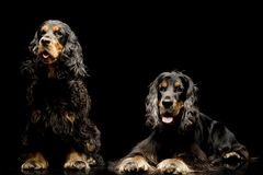 Studio shot of two adorable English Cocker Spaniel stock photography