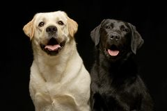 Studio shot of two adorable Labrador retriever Stock Photos