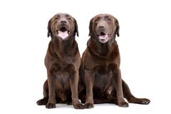 Studio shot of two adorable Labrador retriever Stock Image