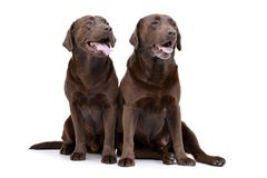 Studio shot of two adorable Labrador retriever Royalty Free Stock Image