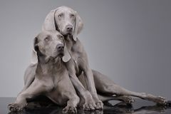 Studio shot of two adorable Weimaraner stock photos