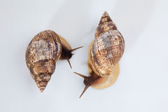Studio shot of two grape snails Royalty Free Stock Image