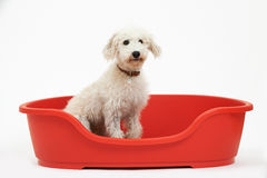 Studio Shot Of White Pet Lurcher Sitting In Red Dog Bed Royalty Free Stock Photography