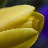 Studio Shot of yellow Colored tulip Flowers Royalty Free Stock Photo