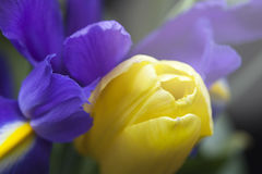 Studio Shot of yellow Colored tulip Flowers. Focus Macro Royalty Free Stock Images