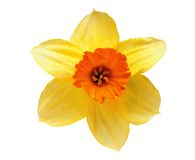 Studio Shot of Yellow and Orange Colored Daffodil Royalty Free Stock Photos