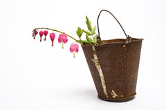 Studio sketch. Red flower in rusty bucket on white studio background royalty free stock photography