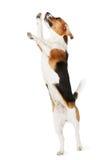 Studio som skjutas av beaglehundbanhoppning mot vit bakgrund Arkivfoton