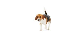 Studio som skjutas av beaglehunden som går mot vit bakgrund Arkivbilder
