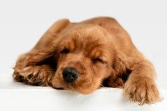 Studio strzał angielski Cocker spaniel pies odizolowywający na białym pracownianym tle zdjęcie royalty free