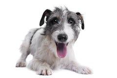 Studio strzał uroczy mieszany trakenu pies fotografia stock