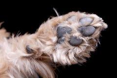 Studio strzelał śliczna Yorkshire Terrier ` s łapa fotografia stock