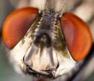 Studio tagliente e dettagliato estremo sulla testa della mosca impilato da molti colpi presi con la lente del microscopio immagini stock libere da diritti