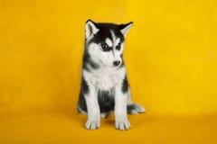 Studiofor för Siberian husky Isolerat på guling arkivfoton