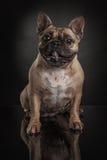 Studiofoto der französischen Bulldogge über schwarzem Hintergrund Lizenzfreie Stockfotografie