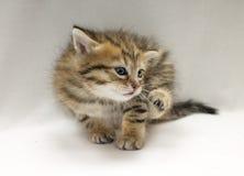 Studiofoto van grappig weinig gekrast katje royalty-vrije stock foto