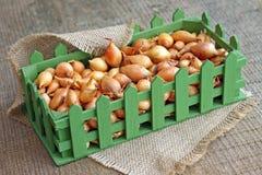Studiofoto von kleinen Zwiebelbirnen im grünen Kasten Stockfoto
