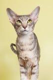 Studioporträt der siamesischen Katze der Dichtungsgetigerten katze Stockbild