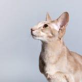 Studioporträt der siamesischen Katze des Lavendels Stockfotos