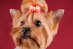 Studioportret van de hond op een rode achtergrond Royalty-vrije Stock Fotografie