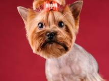 Studioportret van de hond op een rode achtergrond royalty-vrije stock foto's