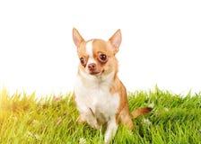 Studioportret van de hond op groen gras royalty-vrije stock afbeelding