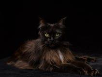 Studioportret van mooie Maine Coon Cat Stock Foto