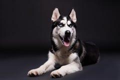 Studios shot of beautiful Siberian husky dog on dark background Stock Photo