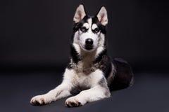 Studios shot of beautiful Siberian husky dog on dark background Stock Images