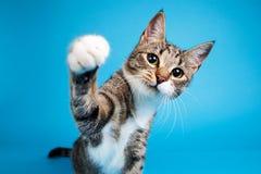 Studioskott av vit randig katt f?r en gr? f?rg som och sitter p? bl? bakgrund royaltyfri fotografi
