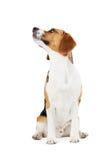 Studiostående av beaglehunden mot vit bakgrund Royaltyfria Bilder