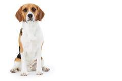 Studiostående av beaglehunden mot vit bakgrund Royaltyfria Foton