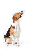 Studiostående av beaglehunden mot vit bakgrund Arkivfoton