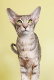 Studiostående av den Siamese katten för skyddsremsastrimmig katt Fotografering för Bildbyråer