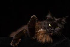 Studiostående av en härliga Maine Coon Cat Royaltyfri Foto