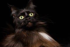 Studiostående av en härliga Maine Coon Cat Royaltyfria Bilder