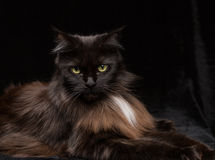 Studiostående av en härliga Maine Coon Cat Royaltyfri Fotografi