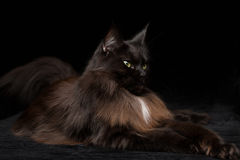 Studiostående av en härliga Maine Coon Cat Arkivbilder