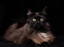 Studiostående av en härliga Maine Coon Cat Royaltyfri Bild