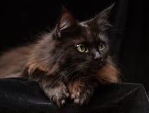 Studiostående av en härliga Maine Coon Cat Arkivfoto