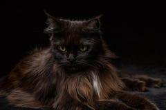 Studiostående av en härliga Maine Coon Cat Arkivbild