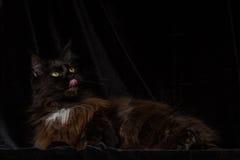 Studiostående av en härliga Maine Coon Cat Fotografering för Bildbyråer
